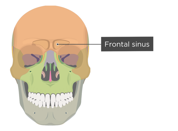 The frontal sinus - anterior view