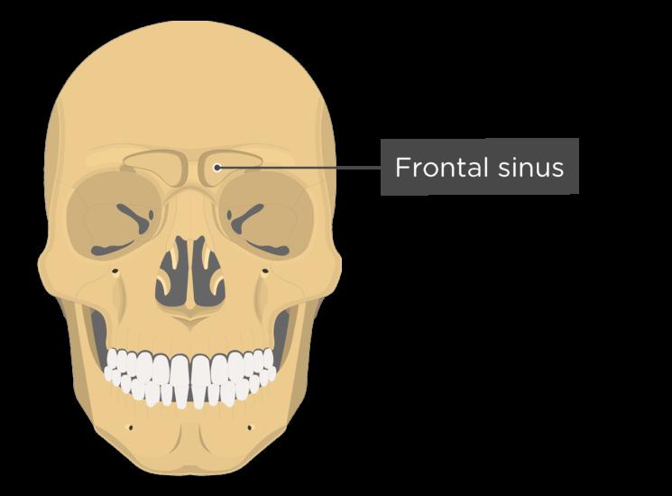 The frontal sinus - anterior view