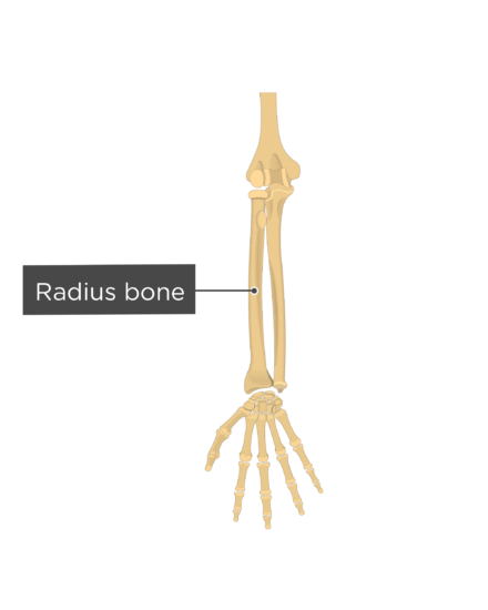 Radius and Ulna Bones Anatomy - Introduction