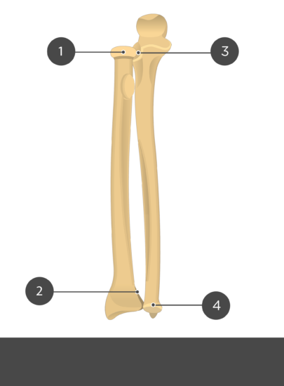 Radius and Ulna Test yourself no-labels