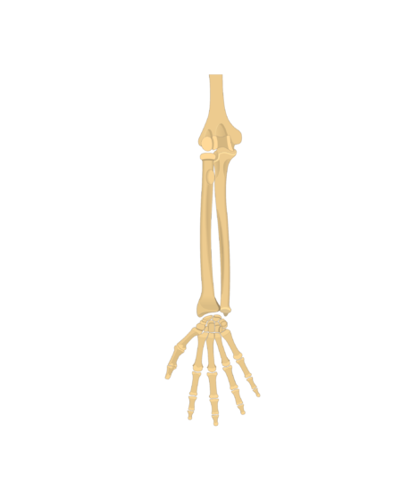 Radius and Ulna bones