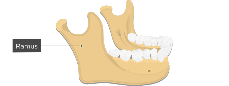 Ramus - Mandible bone - Lateral view