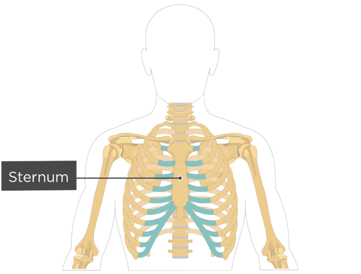 Sternum Bone - Labeled