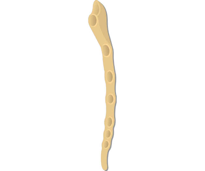 Sternal angle - Sternum Bone - Lateral View