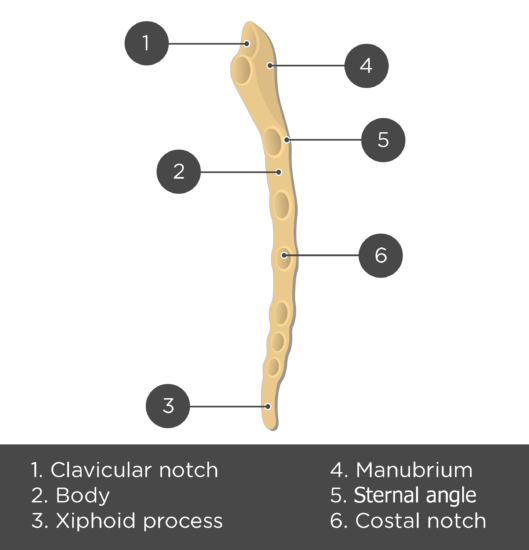 Sternum Bone - Lateral View - Test yourself - Answers