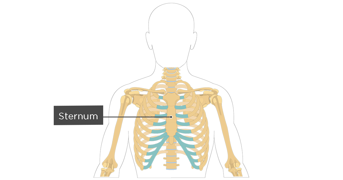 Sternum Bone Anatomy