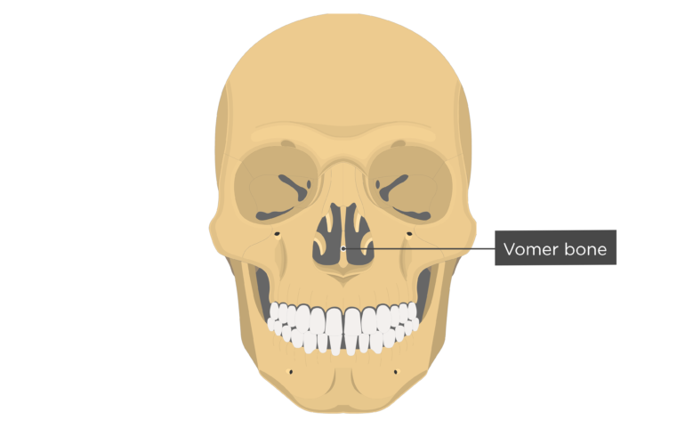 Vomer Bone Anterior view labeled