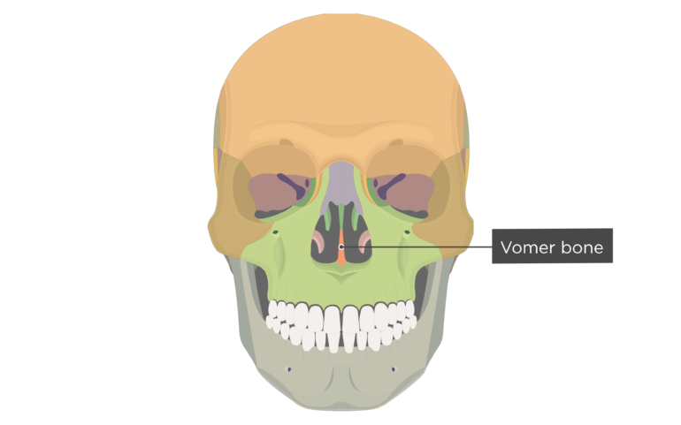 Vomer Bone Anterior view labeled colored