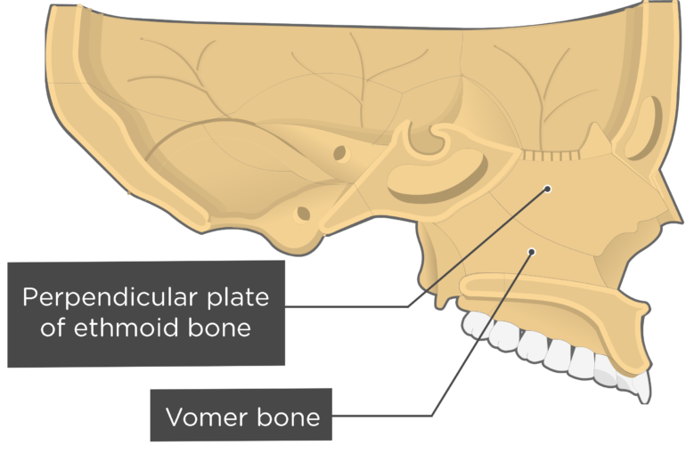 Vomer Bone Sagittal view labeled