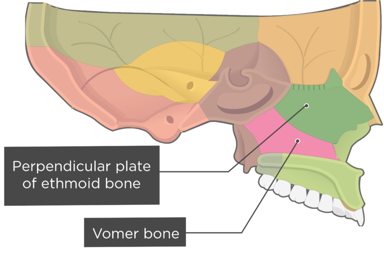 Vomer Bone Sagittal view labeled colored