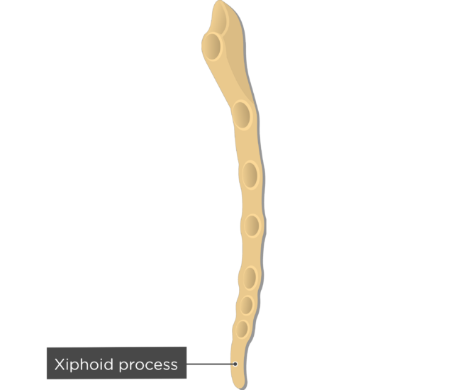 Xiphoid process - Sternum Bone - Lateral View