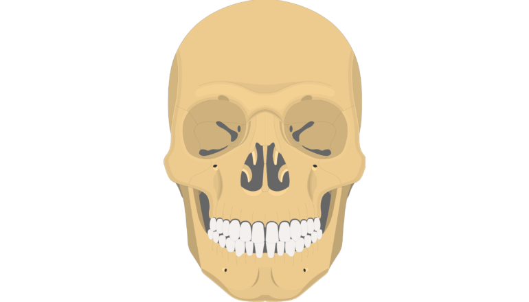 Zygomatic Bone - Anterior View