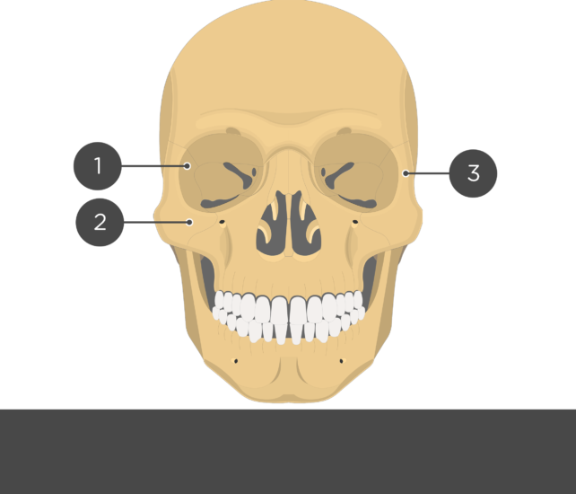 Zygomatic Bone - Anterior View - Test yourself