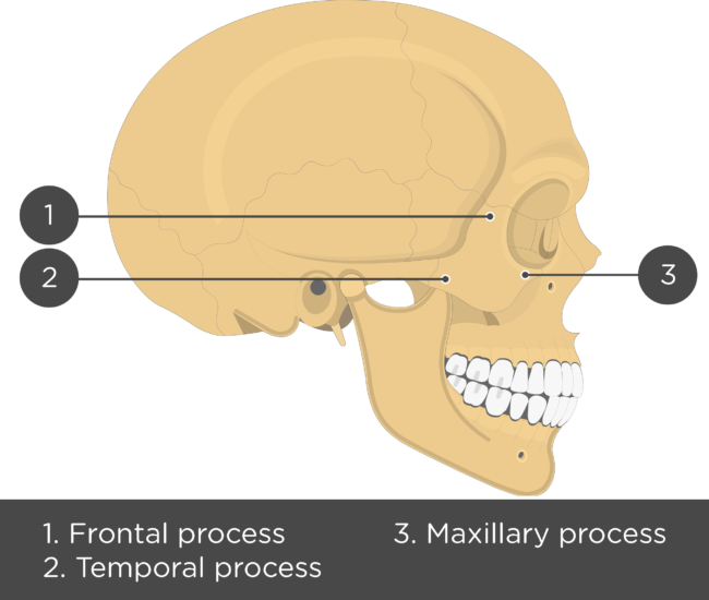 Zygomatic Bone - Lateral View - Test yourself - Answers