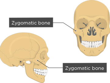 Zygomatic Bone - Overview - featured image