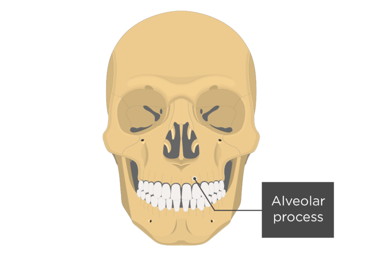 Anterior view of the skull showing the alveolar process