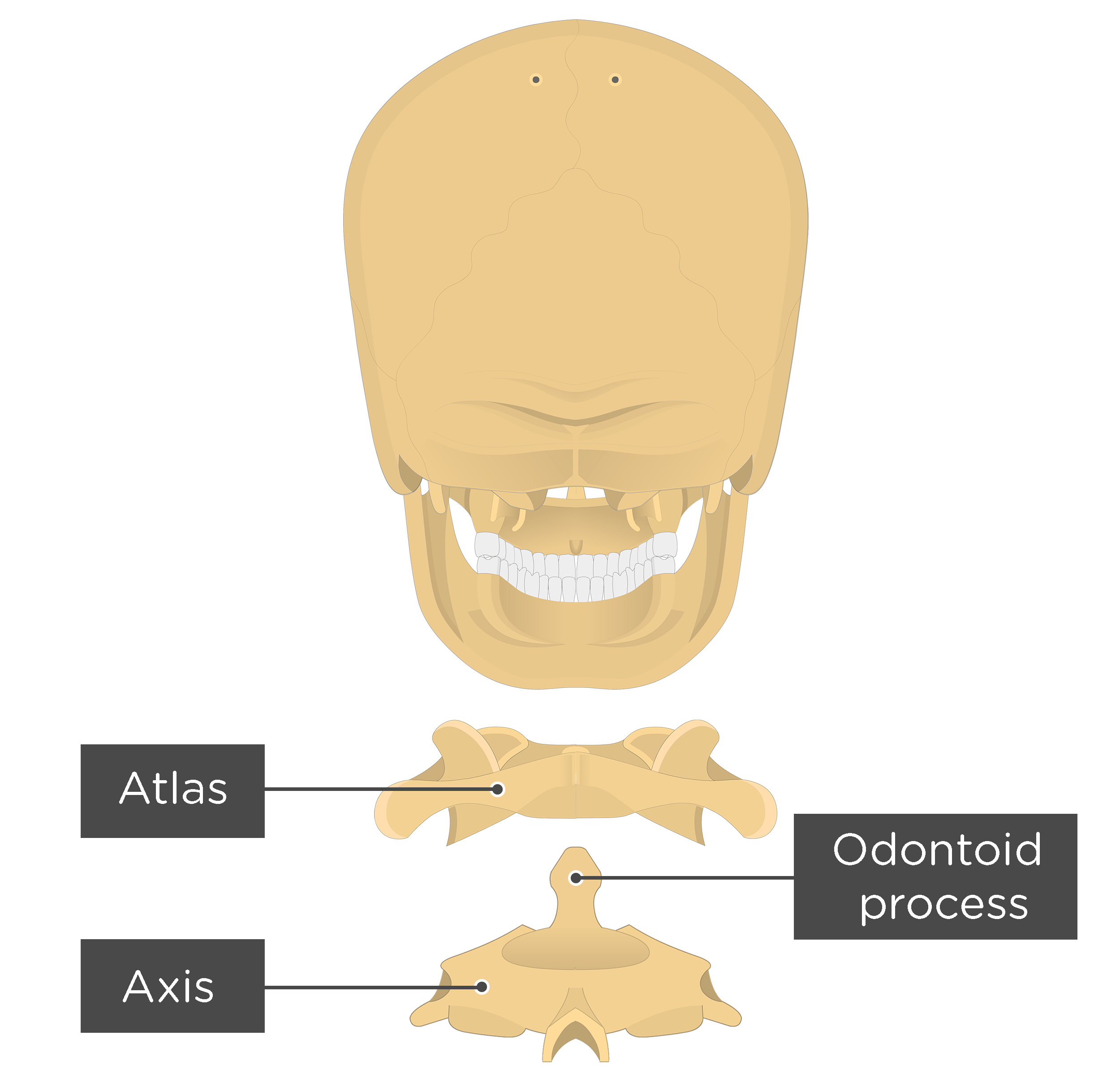 Axis Bone Anatomy