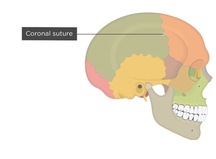 coronal suture - lateral view - divisions