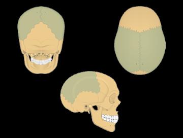 featured image of the parietal bone