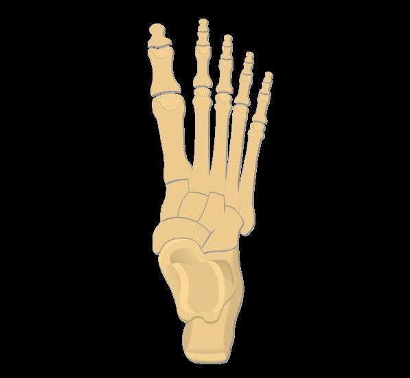 Tarsals Tarsal Bones Anatomy