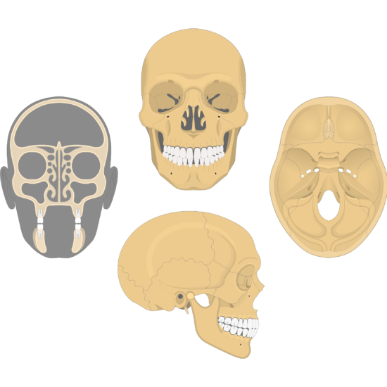 The anterior, lateral, cranial floor, and coronal views of the frontal bone