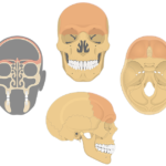 The anterior, lateral, coronal, and cranial floor views of the frontal bone