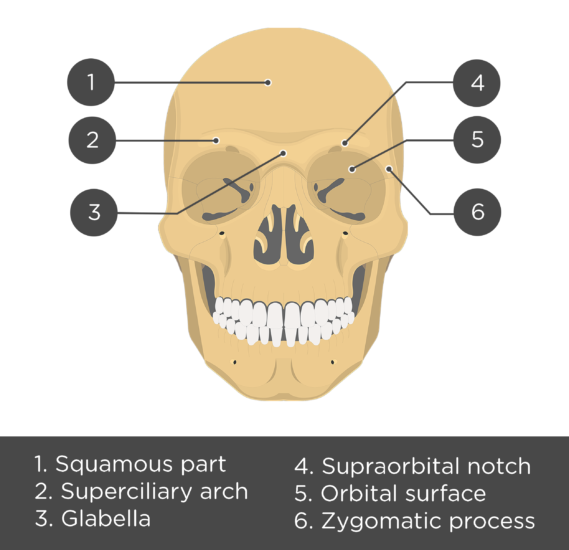 The anterior view of the frontal bone - test yourself answers