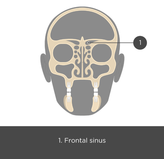 The coronal view of the frontal bone - test yourself answers