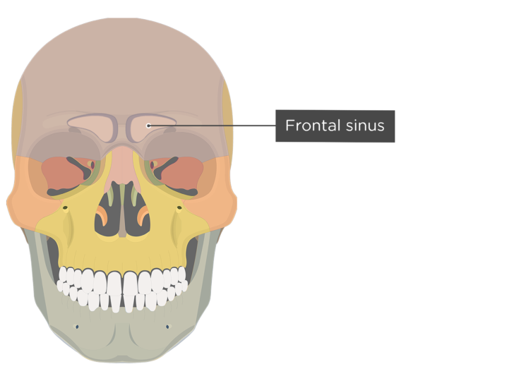 The anterior view of the frontal bone - frontal sinus
