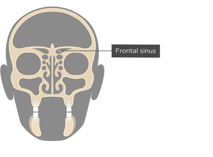 The coronal view of the frontal bone - frontal sinus