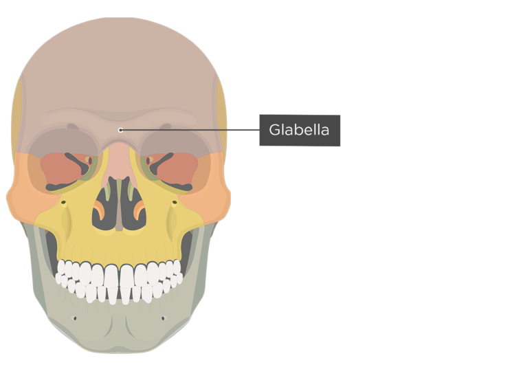 The anterior view of the frontal bone - glabella