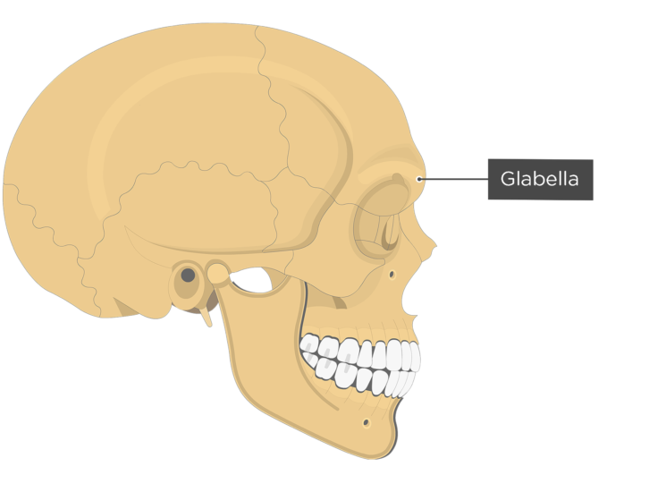 The lateral view of the frontal bone - glabella