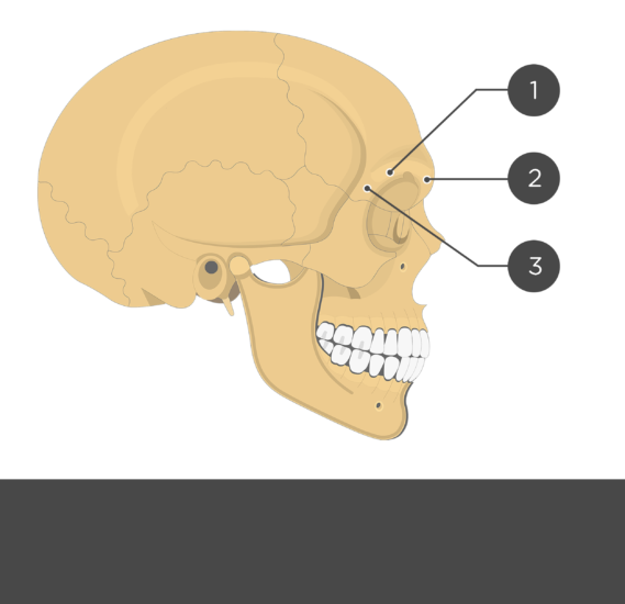 The lateral view of the frontal bone - test yourself