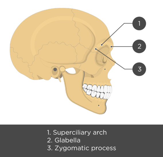 The lateral view of the frontal bone - test yourself answers