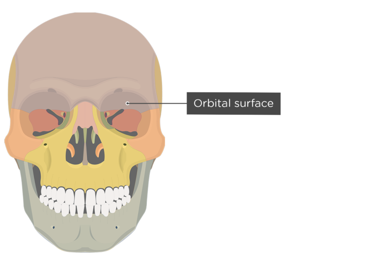 The anterior view of the skull - orbital surface