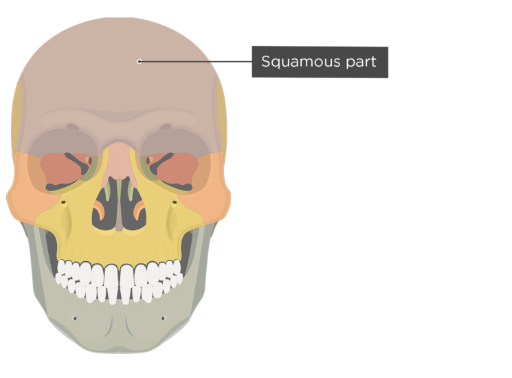 The anterior view of the frontal bone - squamous part