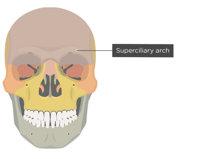 The anterior view of the frontal bone - superciliary arch