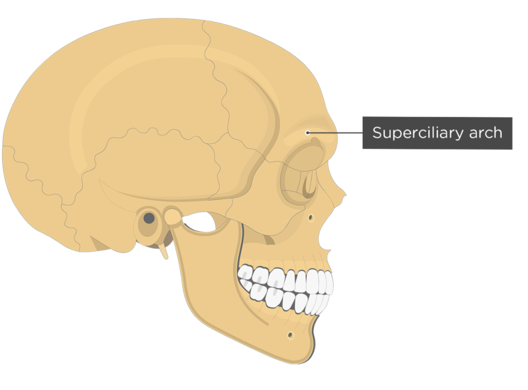 The lateral view of the frontal bone - superciliary arch