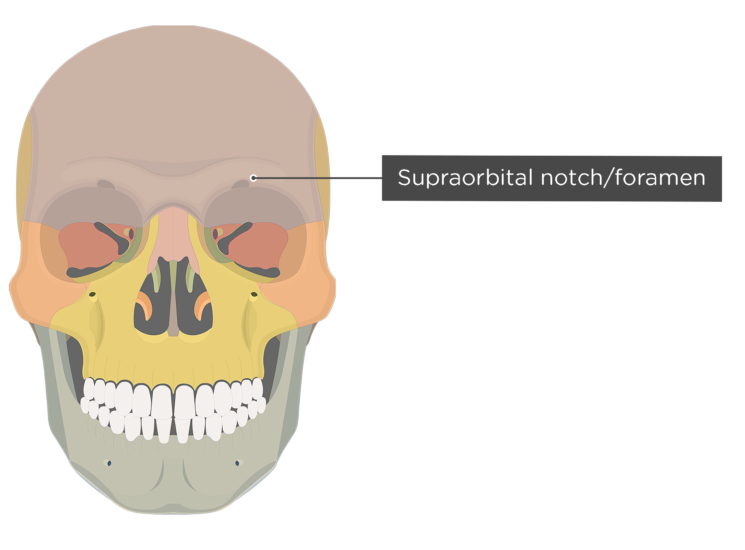 The anterior view of the frontal bone - supraorbital foramen