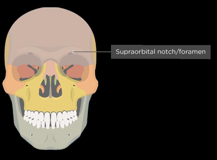 The anterior view of the frontal bone - supraorbital foramen