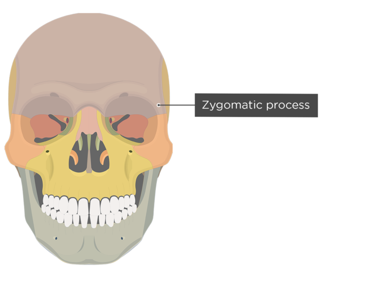 The anterior view of the frontal bone - zygomatic process