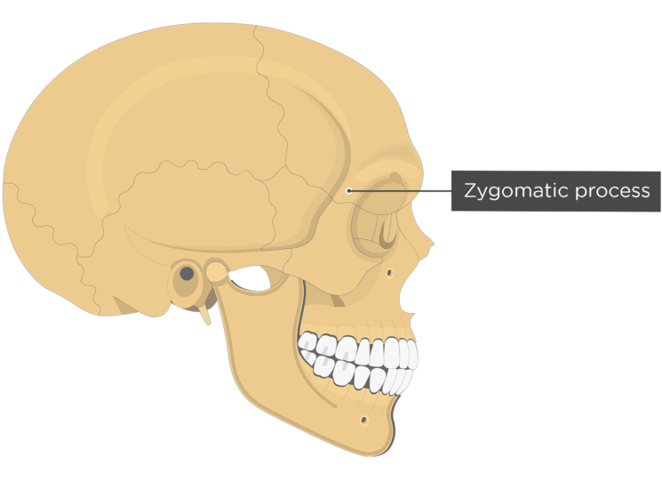 Thelateral view of the frontal bone - zygomatic process