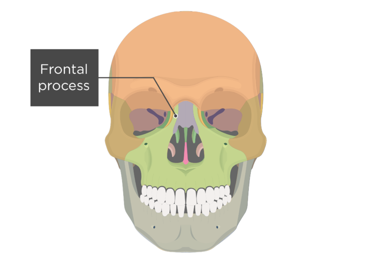 Anterior view of the skull showing the frontal process