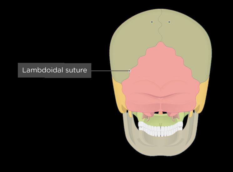lambdoidal suture - posterior view - divisions