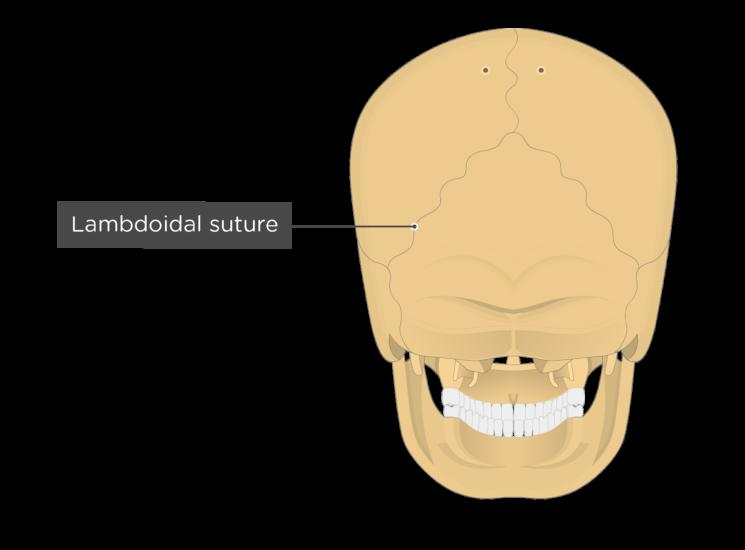 lambdoidal suture - posterior view