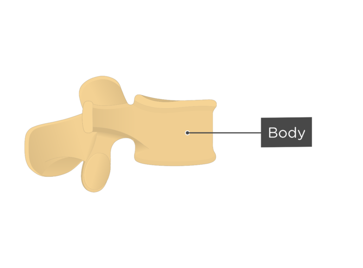 lumbar vertebra - body - lateral view