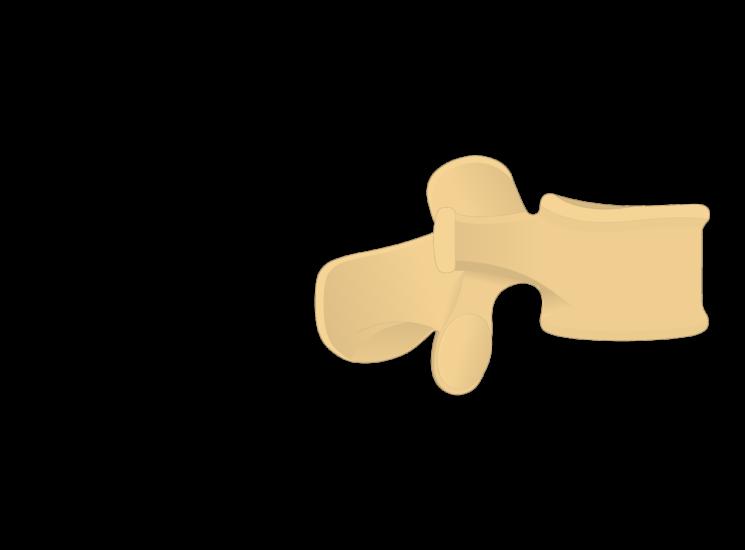 lumbar vertebra - lateral view