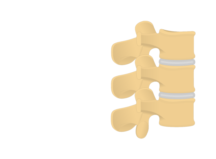 lumbar vertebrae - articulated view