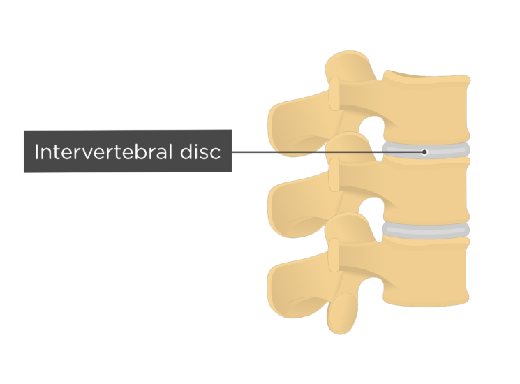 lumbar vertebrae - intervertebral disc - articulated view