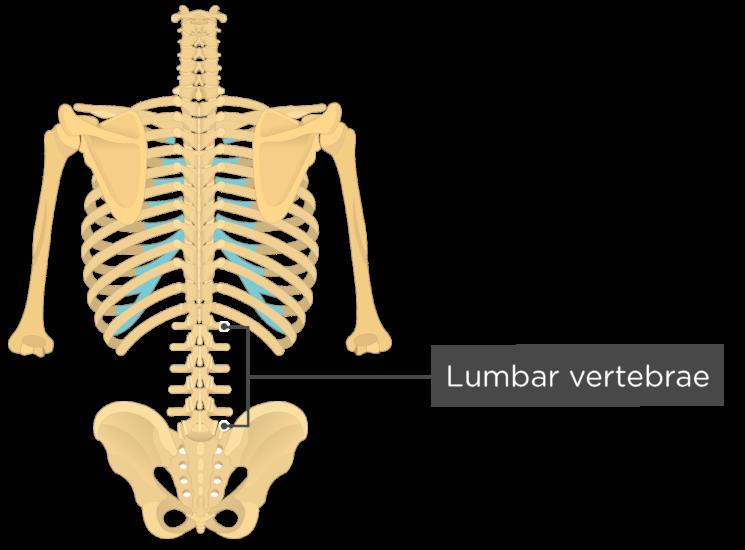 Lumbar Vertebrae Anatomy